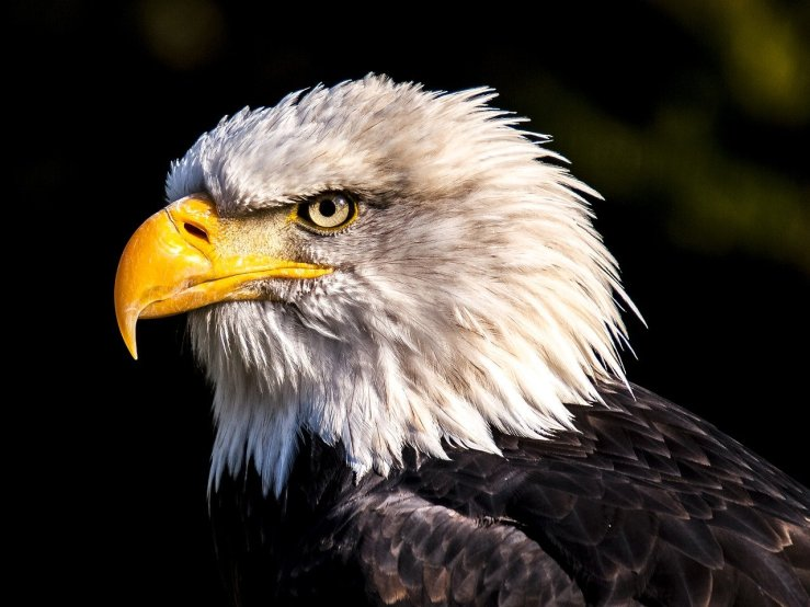 A close up of a bald eagle. His beak is closed but his left eye is staring at the camera.