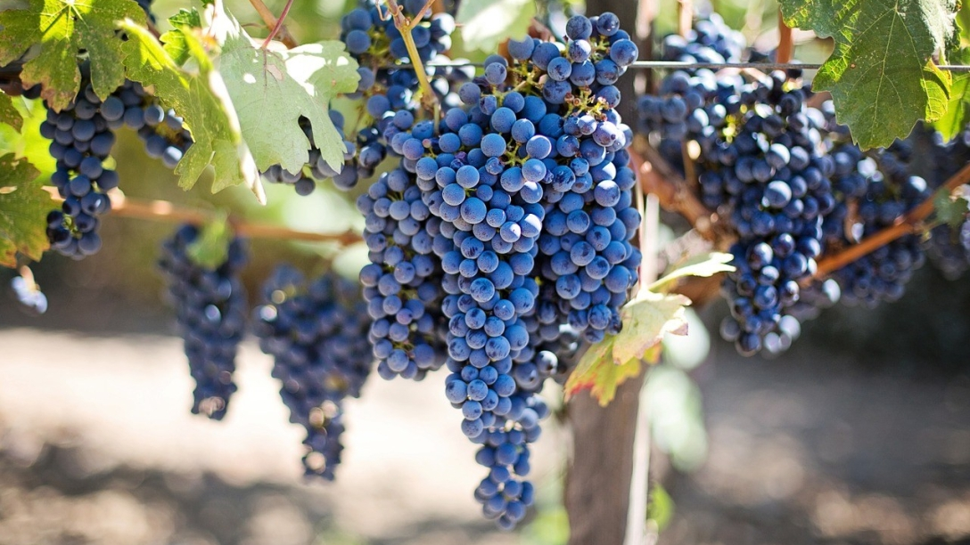 Clusters of grapes hanging in a vineyard.