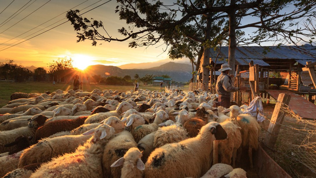 A shepherd is with his sheep. He is standing in front of a fence with dozens of sheep behind him. A barn or farm house can be seen on the other side of the fence. Some trees are visible further down the fence line. At the left side of the image the sun is peeping over some mountains on the horizon.